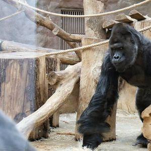 Gorila i dva lava u zoološkom vrtu u Pragu pozitivni na kovid-19