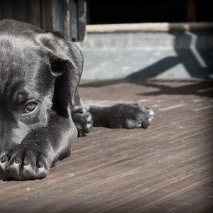 DW: Srbija, Bugarska i Rumunija epicentar ilegalnog uzgajanja pasa