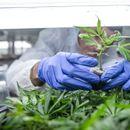 VELIKA AKCIJA SRPSKE POLICIJE: U Plandištu otkrivena laboratorija za uzgoj marihuane