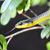 Овие змии можат да скокаат, а научниците сакаат да откријат зошто