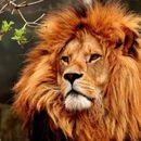 Детален поглед на еволуцијата на лавовите може да ги спаси од изумирање