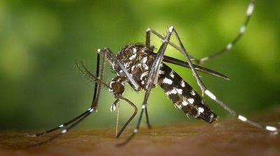 Компанија пуштила 150.000 генетички модифицирани комарци во природата