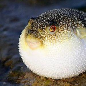 Има ли в Черно море смъртоносна риба Фугу?
