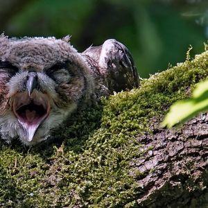 Фотографии од бебиња бувови кои спијат со лицето надолу, а кога ќе се разбудат изгледаат како многумина од нас