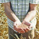 MINISTAR NEDIMOVIĆ: Srbija ne treba da brine, žita ima! Čak i 1,9 do 2 miliona tona pšenice za izvoz