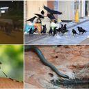 BEOGRAD JE POSTAO PRAVA DŽUNGLA: Ulicama tumaraju divlje svinje, zmije izlaze iz skrovišta, a sa neba napadaju vrane i komarci