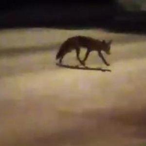 ŠOK SNIMAK IZ PANČEVA: Lisica opušteno šeta centrom grada! Prolaznici ZABEZEKNUTI prizorom!