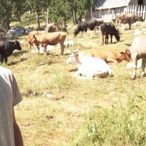 MUKA NAJVEĆIH STOČARA U CRNOJ GORI Braća Bulatovići imaju 700 ovaca, 250 koza, 40 krava, ali nijedan nije oženjen! VIDEO