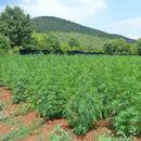 AKCIJA DVOGLED: Kod Cetinja otkrivena NAJVEĆA PLANTAŽA MARIHUANE sa 3.700 stabljika! FOTO