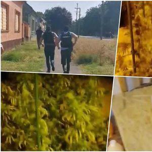 MUŠKARAC (51) UHAPŠEN U ZRENJANINU: Nađena laboratorija za uzgoj marihuane i 395 sadnica FOTO