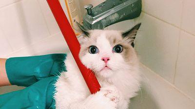 22 Смешни фотографии од мачки кои го планираат вашето убиство, после нивното бањање