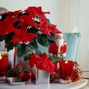 Како да го негувате божиќното цвеќе