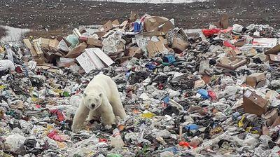 Изгладнета поларна мечка залута во рускиот индустриски град Норилск