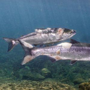 Повредени лососи пливаат во жешка вода поради топлотен бран