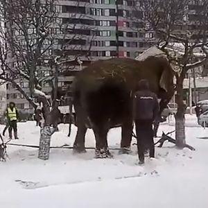 Палави слонови: Избегале од циркус за да си играат во снегот