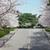 Разбуден град: Расцветаа црешите во Вухан! (ВИДЕО)