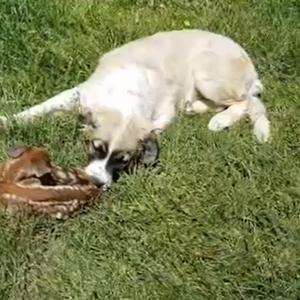 Несекојдневен настан во с. Белица: Кучето Медо донесе мала срна