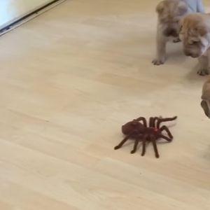 """Фобијата од пајаци никогаш не изгледала послатка: Погледнете како се борат со """"ѕверот"""" овие кученца"""