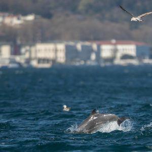 Глетка која го запира здивот: Над 300 делфини забележани во Калифорнија