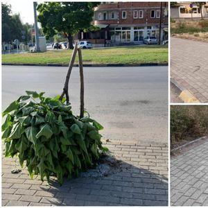 Еко-свест на минимум: Искршени млади дрвја кај стадионот во Тетово