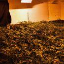 Pančevačka policija uhapsila trojicu Beograđana zbog proizvodnje marihuane