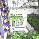Pronađena laboratorija marihuane u Novoj Crnji: Zaplenjena 141 stabljika