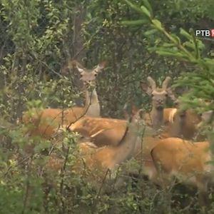 Nakon pola veka tišine, ponovo se čuje rika jelena oko Kraljeva