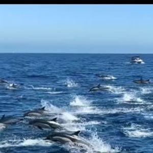 """(Видео) Повеќе од 300 делфини во """"стампедо"""""""