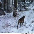 Снегот ги раздвижи срните на Пелистер – снимки од новиот систем за мониторинг на дивите животни
