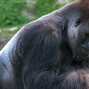 УГИНА КОКО: Единствената горила која го знаеше знаковниот јазик