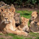 Убиена лавица откако побегна од кафез во зоолошката градина во Брисел