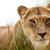 Драмата заврши -убиена е лавицaта која побегна од кафез во Зоолошката градина во Брисел