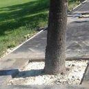 "ФОТО: Град Скoпје ги ""ослoбоди"" забетонираните дрва"