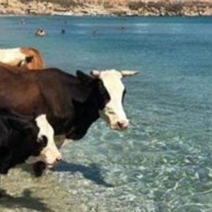 (Фото) Крави ја окупираа една од најскапите плажи во Грција