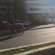 """Крава излезе на чист воздух на """"Партизанска"""""""