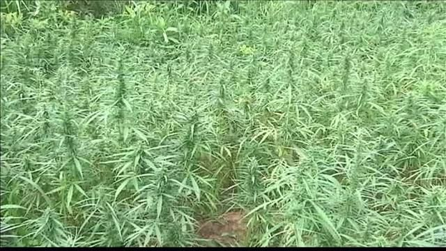 More KY Farmers Expected to Plant More Hemp This Year