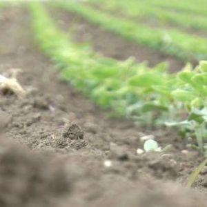 Kako se poljoprivrednici iz Srema bore sa vremenskim nepogodama?