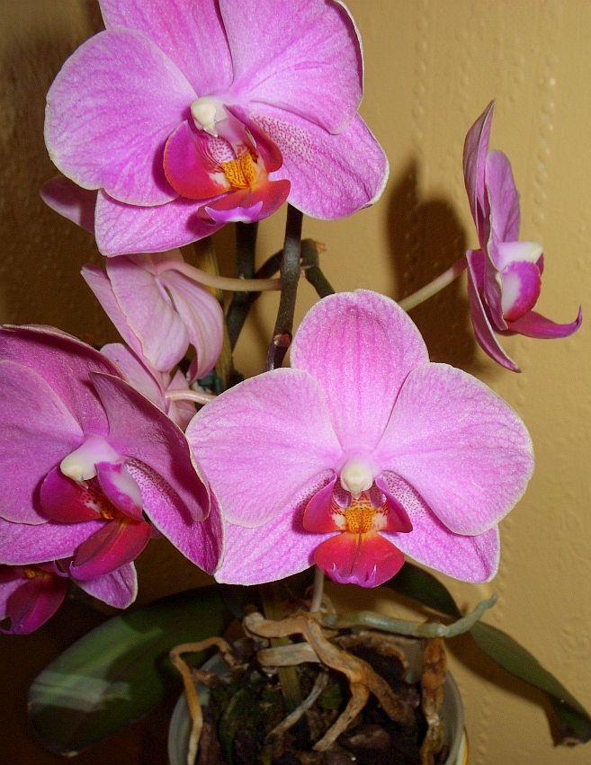 [Image: Phalaenopsis_Moth_Pink_Orchids.jpg]