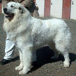מידע| דוגו ארגנטינו - Dogo Argentino .