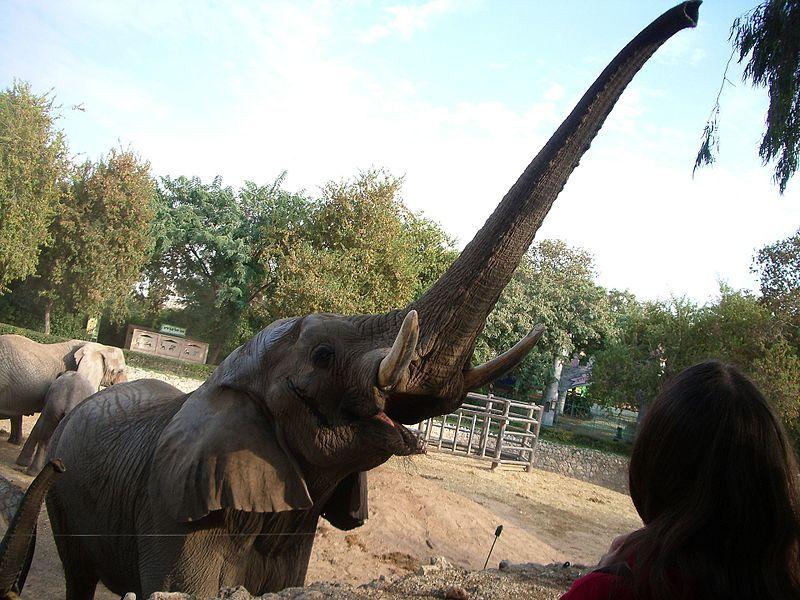 פילים חיים פי שניים בטבע מאשר בגן חיות