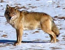 Picture of a wolf standing on snowy terrain, turning its head at the camera