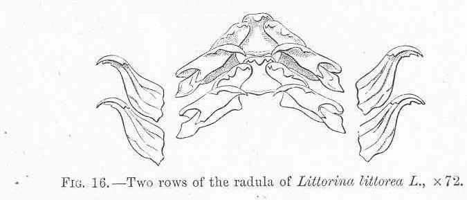 FMIB 48521 Two rows of the radula of Littorina littorea L