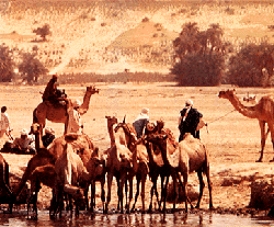 Camels in Chad.png