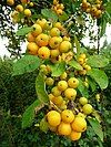 Crab apples by the roadside