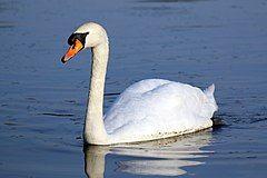 Mute swan (cygnus olor).JPG