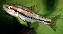 Phoxinus erythrogaster.jpg