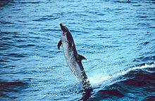 Schlankdelfin.jpg