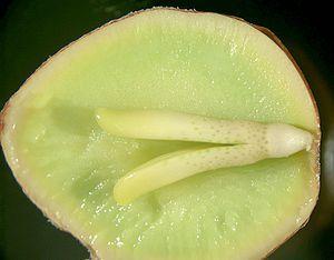 Ginkgo embryo and gametophyte.jpg