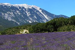 View across lavender field to Mont Ventoux