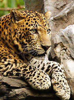 Panthera pardus close up.jpg